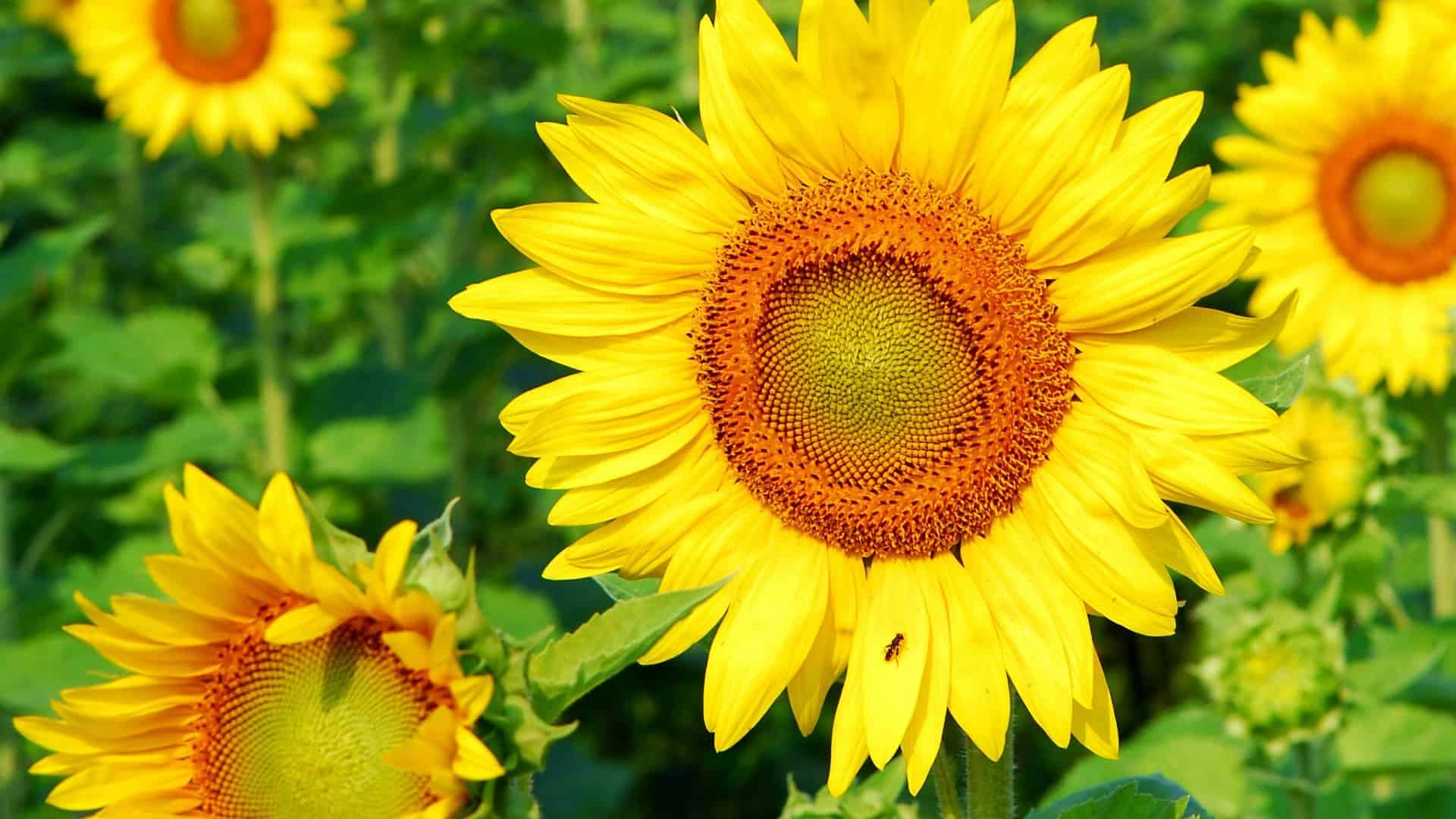 Leon-sunflower